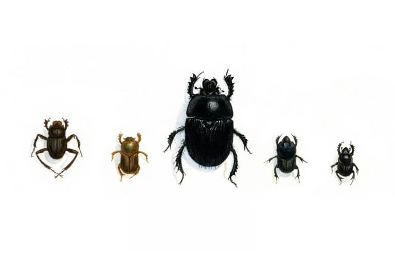 Image of Dung Beetle Variations